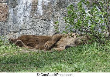 herbe, ours, dormir