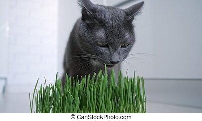 herbe, pot, beau, chat, lui, manger, développé, vert, gris