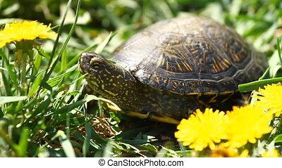 herbe, tortue