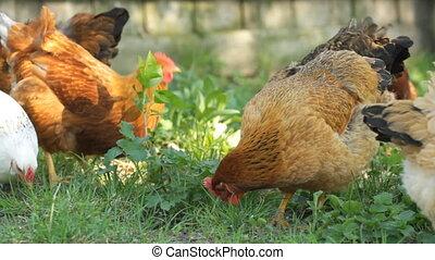 herbe verte, poulets