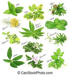 herbes, collection, aromatique, frais