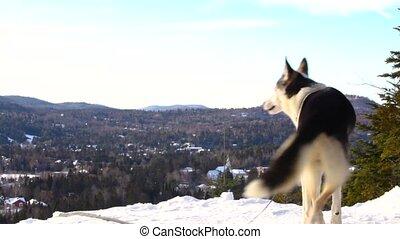 heureux, husky, sommet montagne, alaska, chien