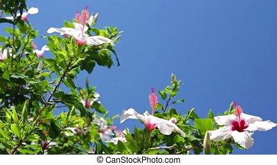 hibiscus, buisson