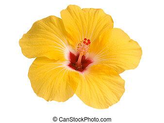 hibiscus, jaune