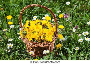 homéopathique, plante, fleurs, (taraxacum), pissenlit