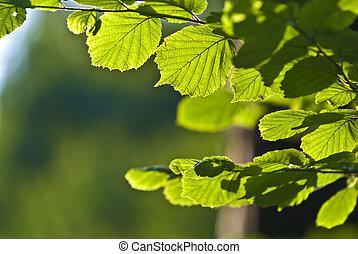 hornbeam, branche arbre