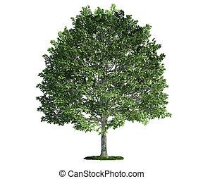 hornbeam, (carpinus), arbre, isolé, blanc
