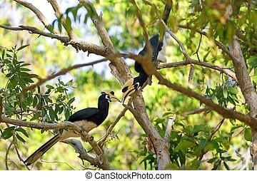hornbill, couple, jungle