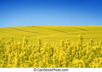huile, printemps, jaune, tôt, champ, graine, colza