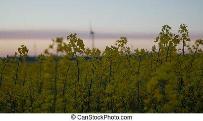 huile, puissance, champ, station, vent, plants., graine, colza