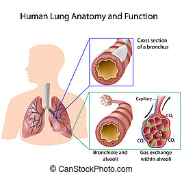 humain, &, anatomie, poumon, eps8, fonction