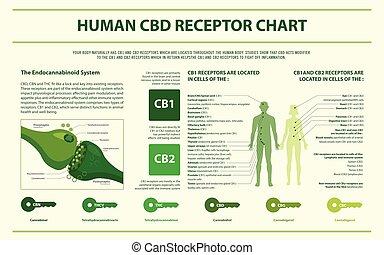 humain, infographic, diagramme, horizontal, cbd, récepteur