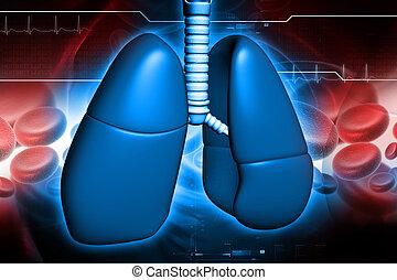 humain, poumons