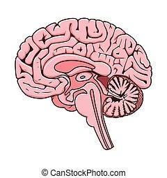 humain, section, cerveau, vecteur, schématique, structure