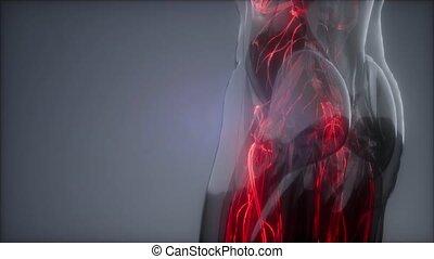 humain, vaisseaux, corps, sanguine
