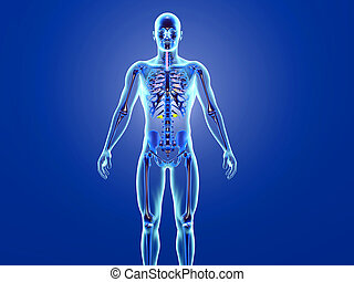 humain, visualisation, anatomie