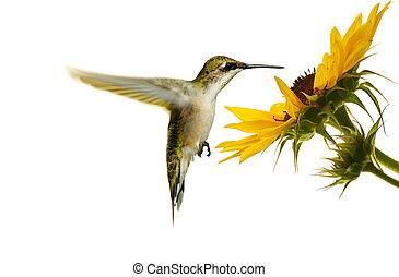 hummingbird., throated, rubis