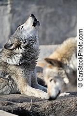 hurlement, loup