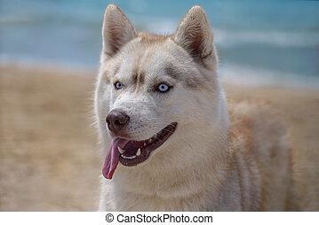 husky, race, chien