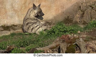 hyaena, animal africain, sultana)., rayé, (hyaena, hyène