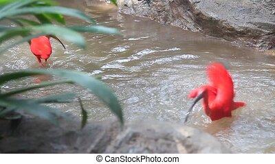 ibis écarlate, hd