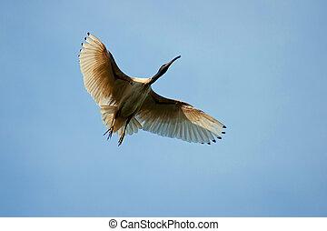 ibis, australien, vol, blanc