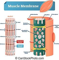 illustration., band., vecteur, étiqueté, anatomique, disque, myofibril, reticulum, plan, ligne, muscle, nucleus., zone, sarcoplasm, membrane, mitochondries, diagramme