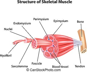 illustration, structure, squelettique