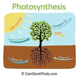 illustration., vecteur, photosynthèse, diagram., schématique, processus