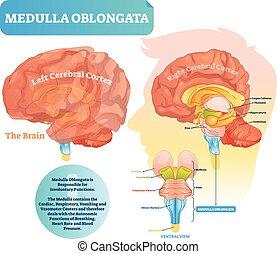 illustration., ventral, diagramme, étiqueté, vecteur, oblongata, vue., moelle