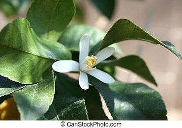 image, citron, stockage, arbre, fleur