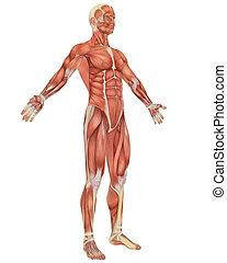 incliné, musculaire, anatomie, devant, mâle, vue