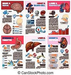 infographic, orgue, diagramme médical, diagramme, interne, santé, humain