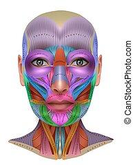 information, coloré, figure, muscles, affiche, anatomie