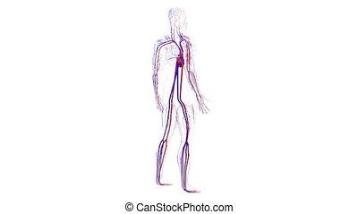 informatique, orteil, sanguine, tête, science, generated., système, circulatoire, humain, vessels., anatomie, fond, rendre, 3d