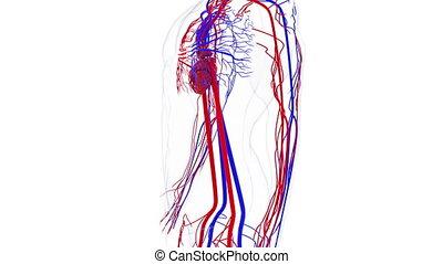 informatique, sanguine, 3d, circulatoire, generated., system., modèle, vessels., tourner, rendre, fond, humain, monde médical
