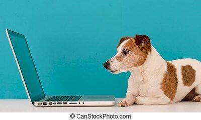 intérêt, regarder, chien, ordinateur portable