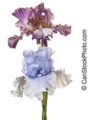 iris, coup, isolé, multicolore, studio, fond, fleurs blanches