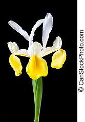 iris, fleur, jaune, arrière-plan noir, blanc