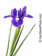 iris, fleur, pourpre, unique, fond, blanc