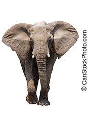 isolé, éléphant