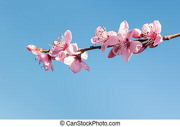 isolé, ciel bleu, contre, rose, copie, fleur, pêche, espace, fleurs, arbre