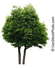isolé, fond, arbre, blanc