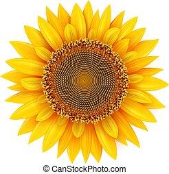 isolé, illustration., réaliste, tournesol, été, fleur