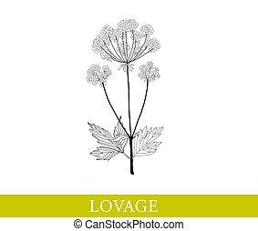 isolé, livèche, vecteur, illustration., white.