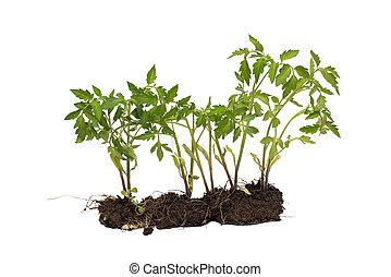 isolé, plante, blanc, development., concept, tomate, sol, arrière-plan.