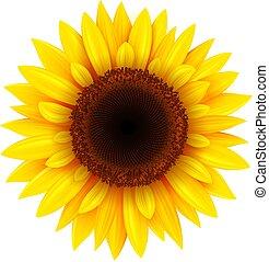 isolé, tournesol, réaliste, été, fleur, illustration.