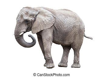 isolated., éléphant