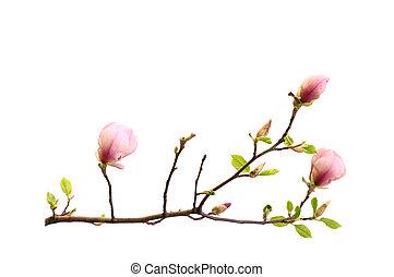 isolement, magnolia, branche