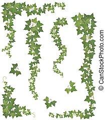 ivy., ensemble, branches, pendre